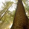 Big tree on Cape Falcon trail