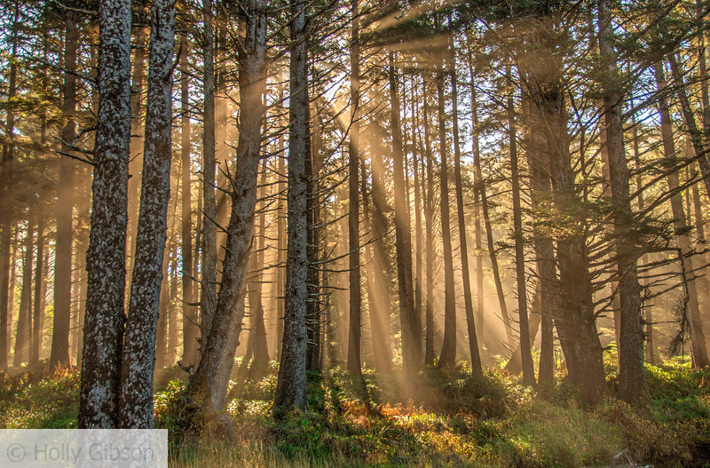 Sunlight and fog in the trees - Cape Lookout