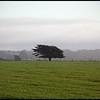 Lone Tree, Mendocino Coast, California