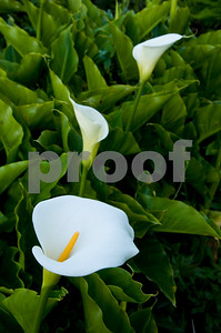 Calla Lillies at Big Sur Coast