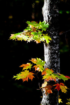 "An autumn maple in Porcupine Mountain Wilderness State Park north of Wakefield MI  *For information on purchasing prints and canvas gallery wraps, click the ""Purchasing"" tab at the top of the page. If viewing on your mobile device, scroll to the bottom of the page and click the ""Full Site"" tab to view as if you were on your home PC and then go to the ""Purchase"" tab to for purchasing info. In mobile mode, you will not see the standard navigation bar with the ""Purchase"" tab."