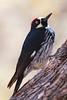 Acorn Woodpecker1180
