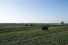 Cows on wheat pasture.