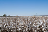 2007 dryland cotton 87