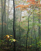 Mountain fog, morning. Forest tapestry
