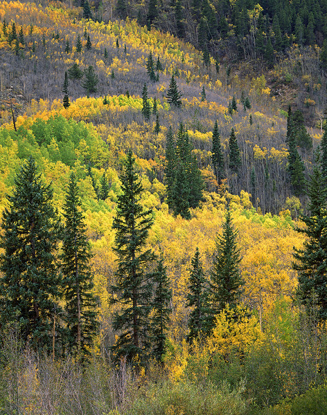 Mixed aspen grove with spruce