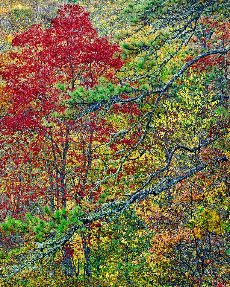 Pine branches and fall foliage