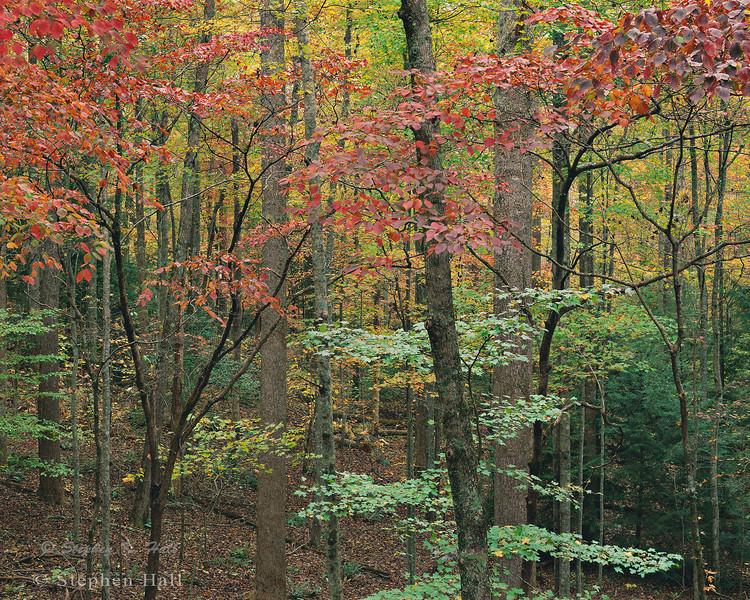 Dogwood and mountain maple, fall