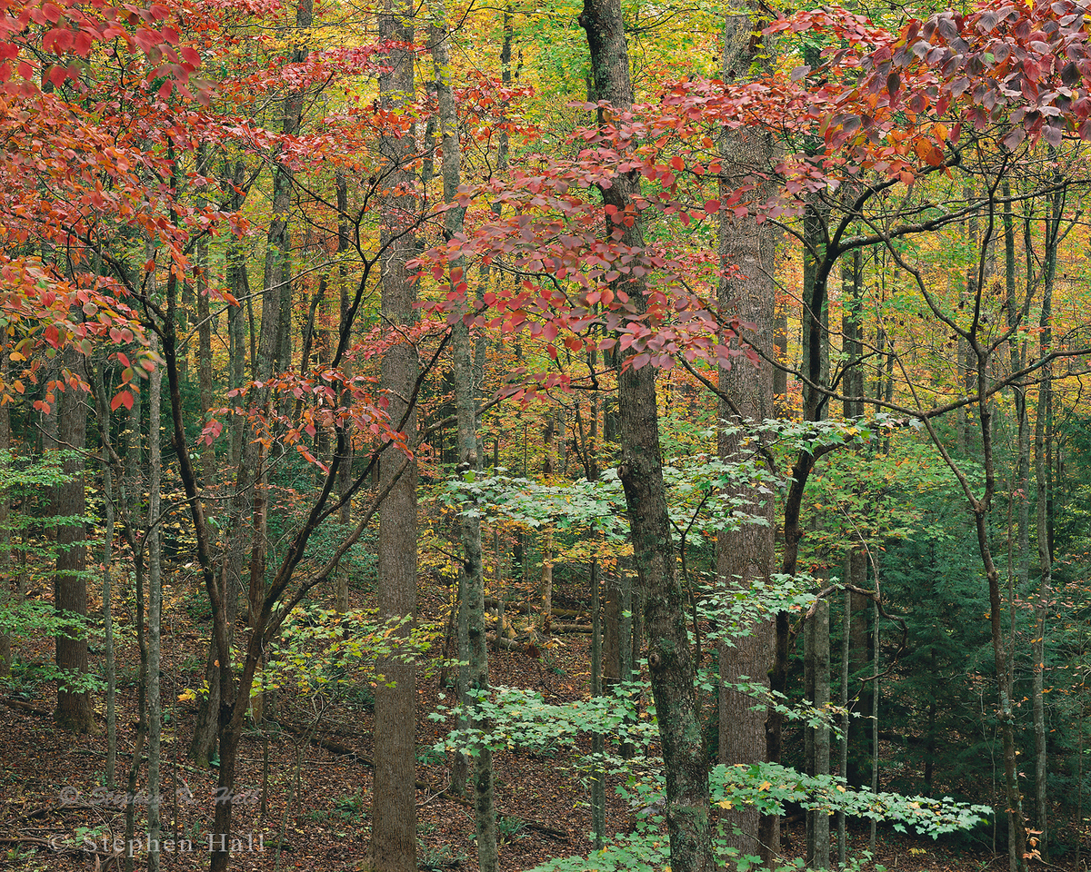 Dogwood and mountain maple, fall