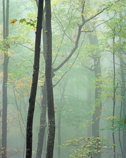 Mountain fog and forest, morning