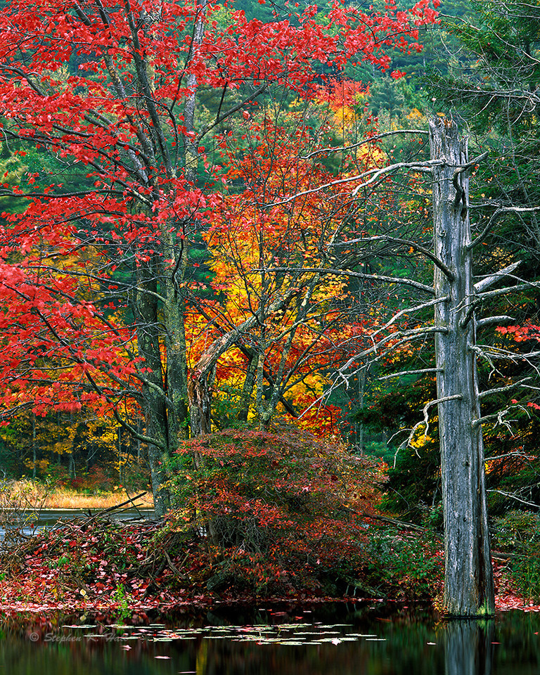 Red maple, fall