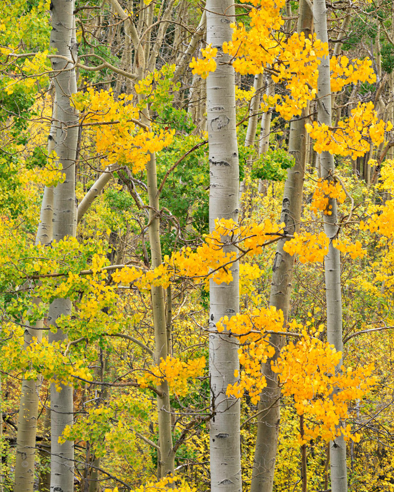 Aspen grove, early fall