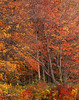 Forest tapestry, red maples