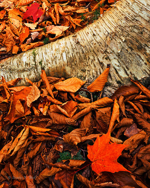 Forest floor. Leaves and white birch, fall