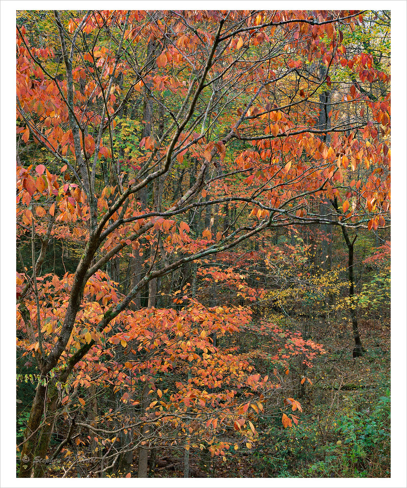 Dogwood, fall foliage, morning