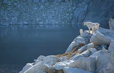 Mountain goats looking over Robin Lake, Alpine Lakes Wilderness, Washington