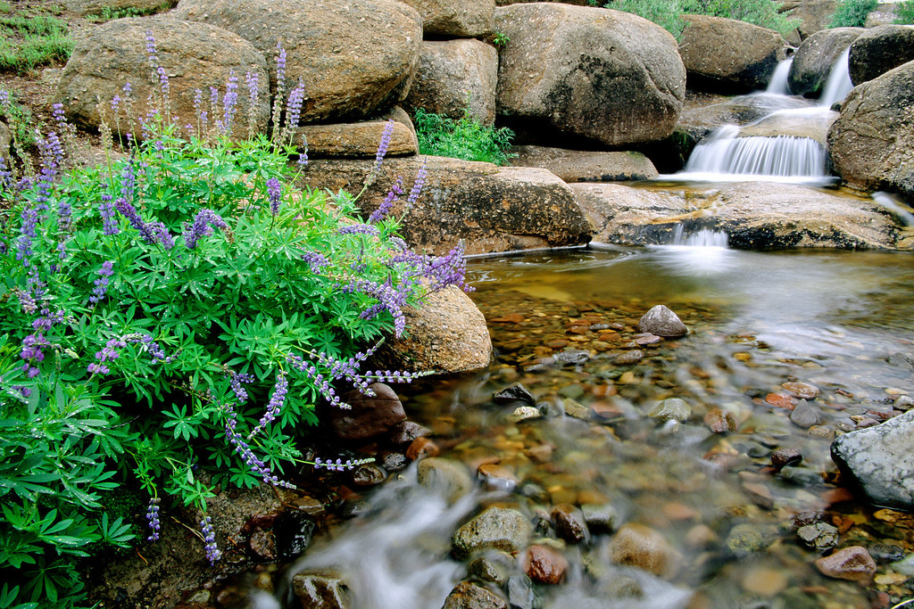 Small stream and lupines, Sierra Nevada Mountains, California