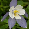 Columbine Crested Butte