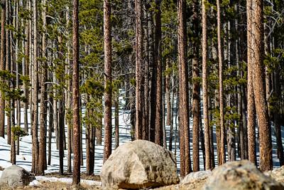 Wintery Pines