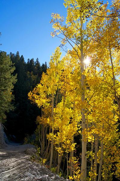 Late afternoon sun beams through golden aspens along Mount Antero's lower trail; Colorado Sawatch Range.