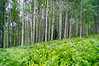 A dense aspen grove opens up to a carpet of lush ferns and glacier lilies; Kebler Pass, Colorado.