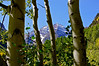 Through the aspen grove; Maroon Bells wilderness, Colorado Elk Range.