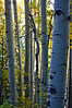 Fall aspens in the Sawatch #1; Mount Antero trail.