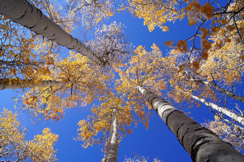 Autumn's first snow clings to aspen leaves; Mount Sneffels wilderness, Colorado San Juan Mountains.