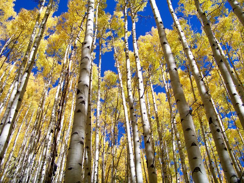 Tall aspens along the Maroon Creek trail, Colorado Maroon Bells-Snowmass Wilderness.