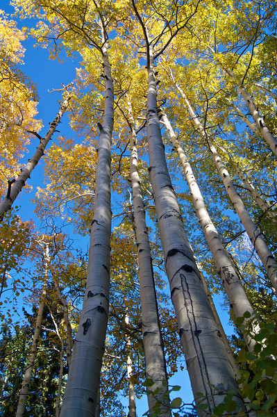 Fall aspens in the Sawatch #2; Mount Antero trail.