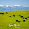 92  G Idaho Cows