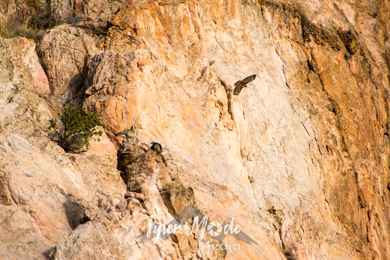 45  G Geese at Garden of Gods and Hawk