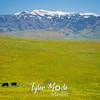 90  G Idaho Cows
