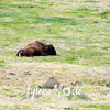 57  G Bison With Dead Calf