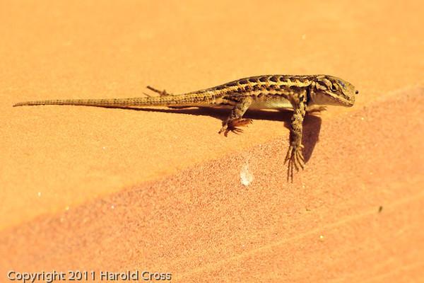 A lizard taken Sep. 15, 2011 near Fruita, CO.