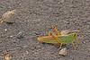 A Grasshopper taken Oct. 29, 2010 near Fruita, CO.