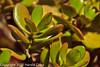 A Jade Plant taken Apr. 7, 2012 in Fruita, CO.