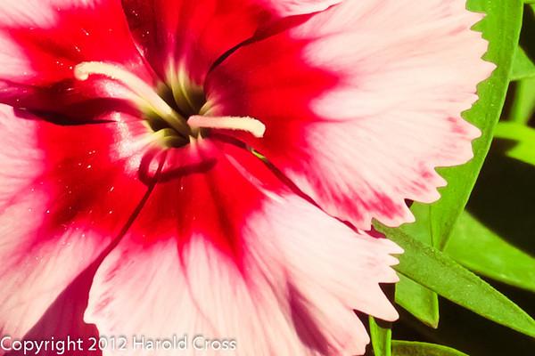 A dianthus flower taken May 14, 2012 in Fruita, CO.