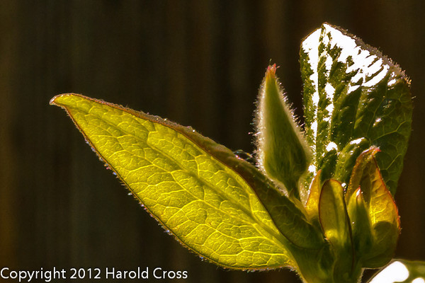 A clematus bud taken May 8, 2012 in Fruita, CO.
