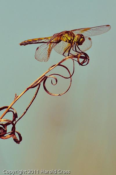 A dragonfly taken Sep. 8, 2011 near Fruita, CO.
