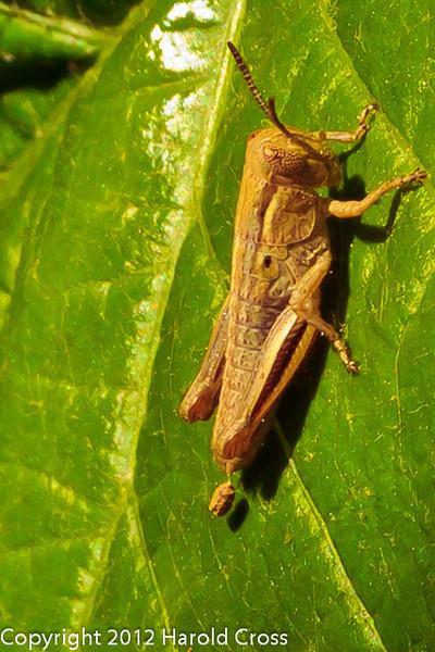 An immature grasshopper taken May 8, 2012 in Fruita, CO.