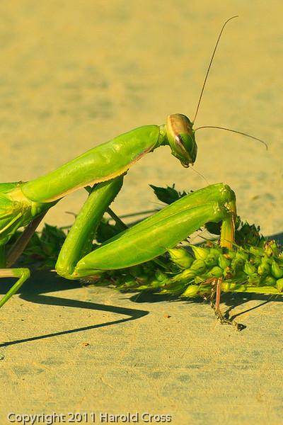 A Praying Mantis taken Sep. 15, 2011 near Fruita, CO.