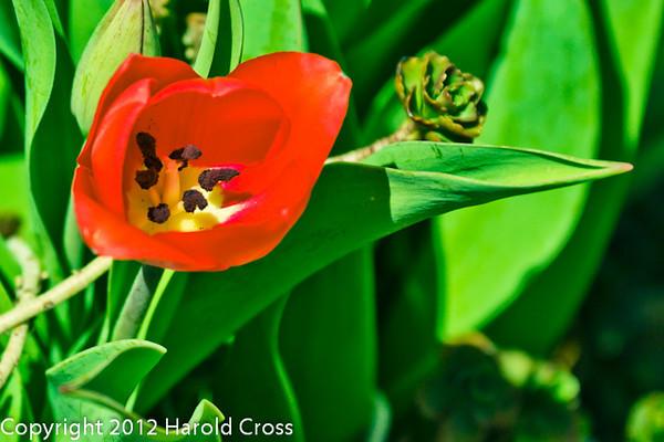 A Tulip taken Mar. 29, 2012 in Fruita, CO.