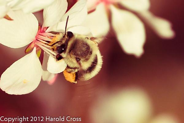 A Bee taken Mar. 28, 2012 near Fruita, CO.