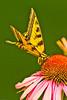 A butterfly taken July 23, 2011 in Fruita, CO.