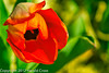 A Tulip taken Apr. 7, 2012 in Fruita, CO.