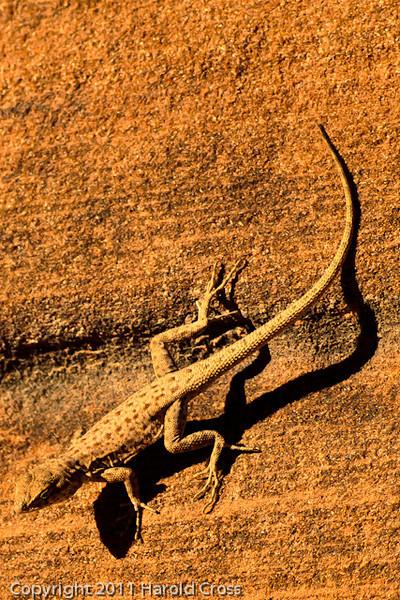 A Lizard taken Oct. 17, 2011 at the Colorado National Monument near Fruita, CO.