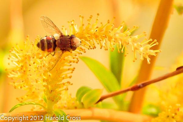 A bee on a Weeping Willow Flower taken Mar. 29, 2012 in Fruita, CO.