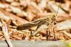 A grasshopper taken Aug. 6, 2011 in Fruita, CO.