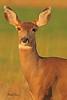 A deer taken Oct. 29, 2010 near Fruita, CO.